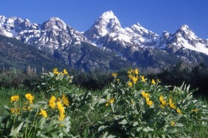 Summer Wildflowers with the Tetons
