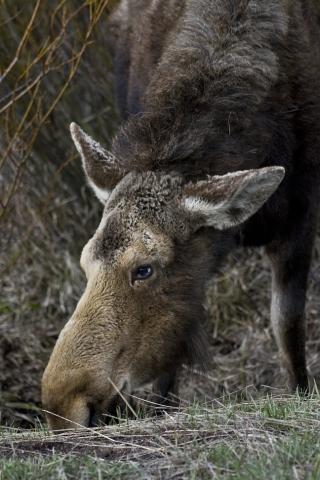 moose10SM