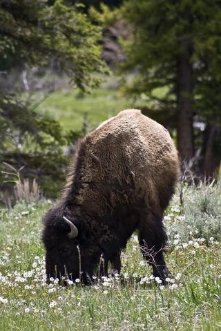 bison16SM