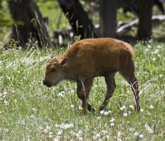 bison9SM
