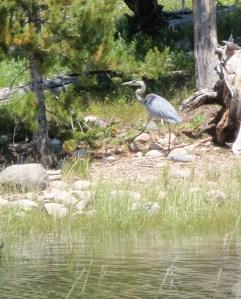 A Blue Heron Struts Along