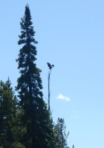 Our Bald Eagle Sighting