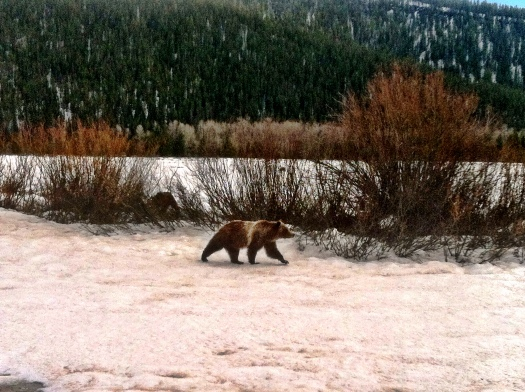 A grizzly and her two cubs strolled right past my car on my way home from work.