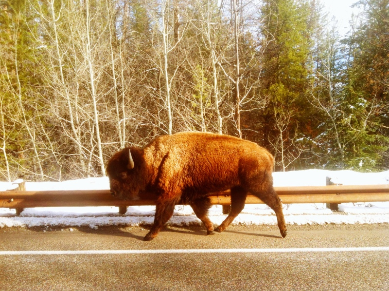 A buffalo in the road, a common occurance.
