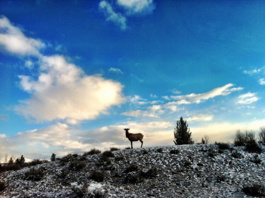 An elk clearly stating that this land is his.