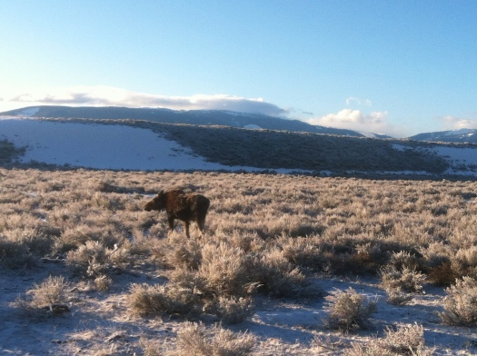 A moose grazing in the field one morning.